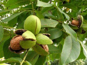Создать в ДНР сад для выращивания грецкого ореха
